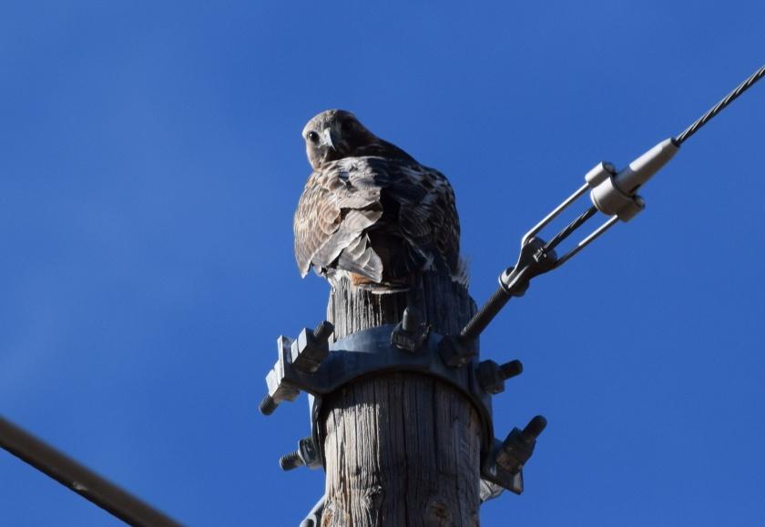 Hawk_Staring