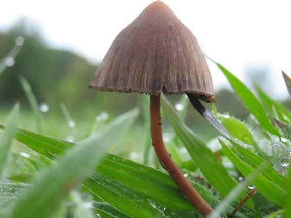 psilocybin-mushroom