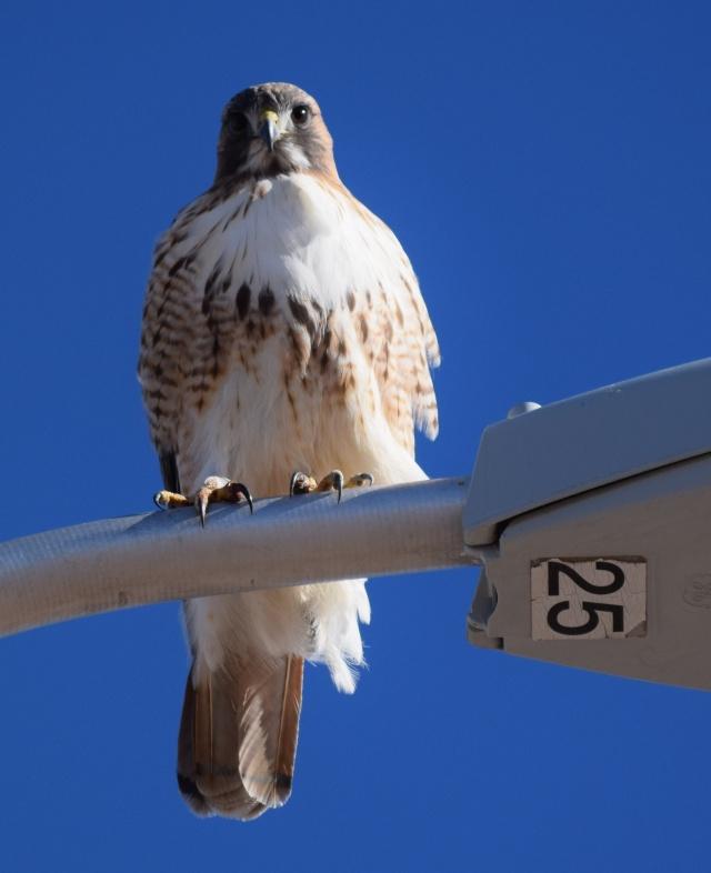 hawk25