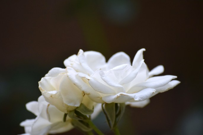 roseUpclose