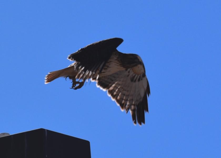 coolhawk