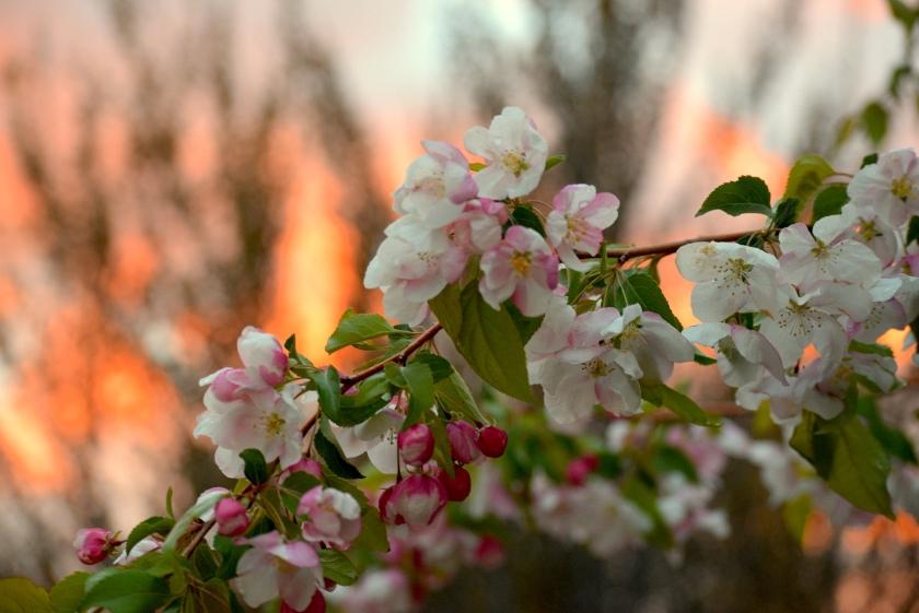 blossomsagainstFire