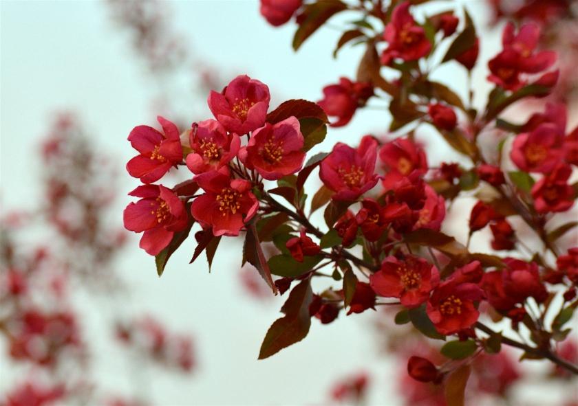 redBLossoms